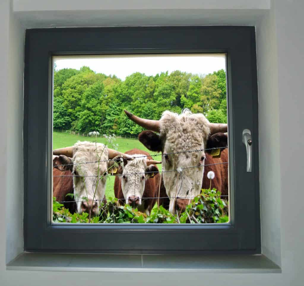27. Cows at the window (with some help from photoshop). Submitted by Anne Nickson.